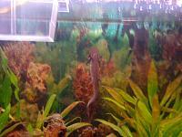 Japanische Feuerbauchmolche - die Mucki-Clowns im Aquarium-dsc01094.jpg