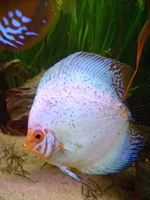 Eine Interessengemeinschaft für alle die diese Fische genauso lieben wie ich.<br />  Für Diskushalter und die, die es werden wollen.